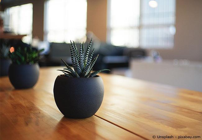 Zimmerpflanze Spargel
