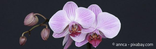 Orchideen benötigen eine hohe Luftfeuchtigkeit