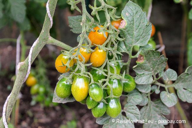 Tomaten können aufgrund ihrer Größe schnell instabil werden, daher sollten sie befestigt werden
