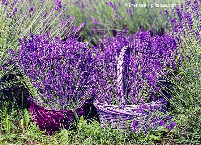 Lavendel ist die perfekte Pflanze für einen Südbalkon