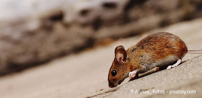 Kaum zu glauben, aber Öffnungen bon 8mm genügen Mäusen, um in Ihr Haus einzudringen.