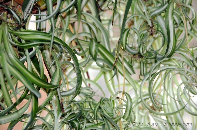 Grünlilien sind zwar pflegeleicht und genügsam, benötigen aber viel Wasser
