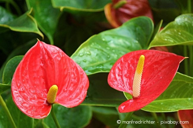 Zimmerpflanzen benötigen Dünger, damit sie regelmäßig und kräftig blühen