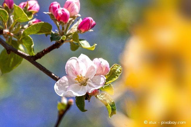 Apfelblüten sind besonders beliebt als Barbarazweige