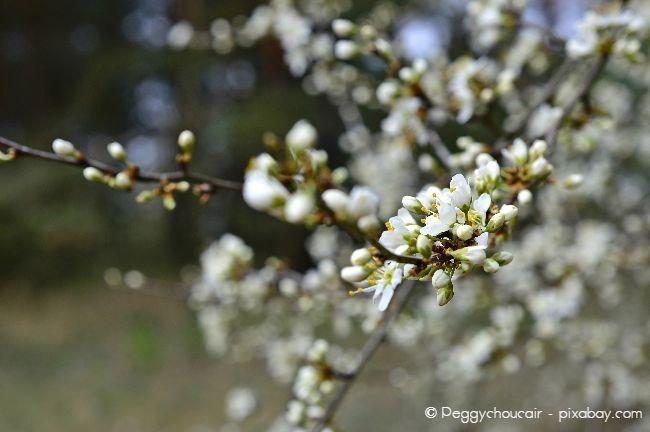 Schlehe - Nicht nur zur warmen Jahreszeit ein echter Hingucker, sondern auch als Barbarazweige im Winter