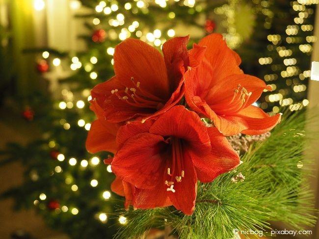 Eine Amaryllis passt schon allein aufgrund ihrer roten Farbe wunderbar zu Weihnachten