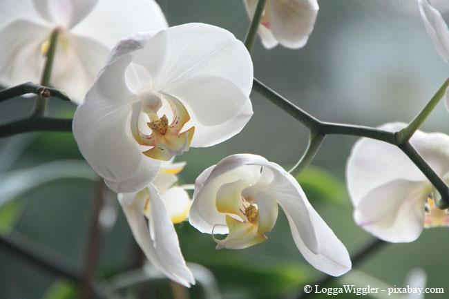 Besonders Orchideen werden häufig überwässert. Diese sollten Sie lieber tauchen statt gießen.