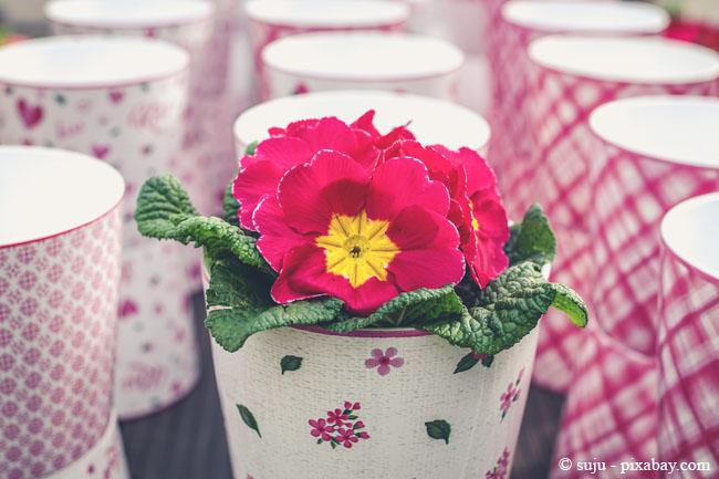 Achten Sie darauf, Ihren Frühblühern im Topf ein helles Örtchen zu gönnen.
